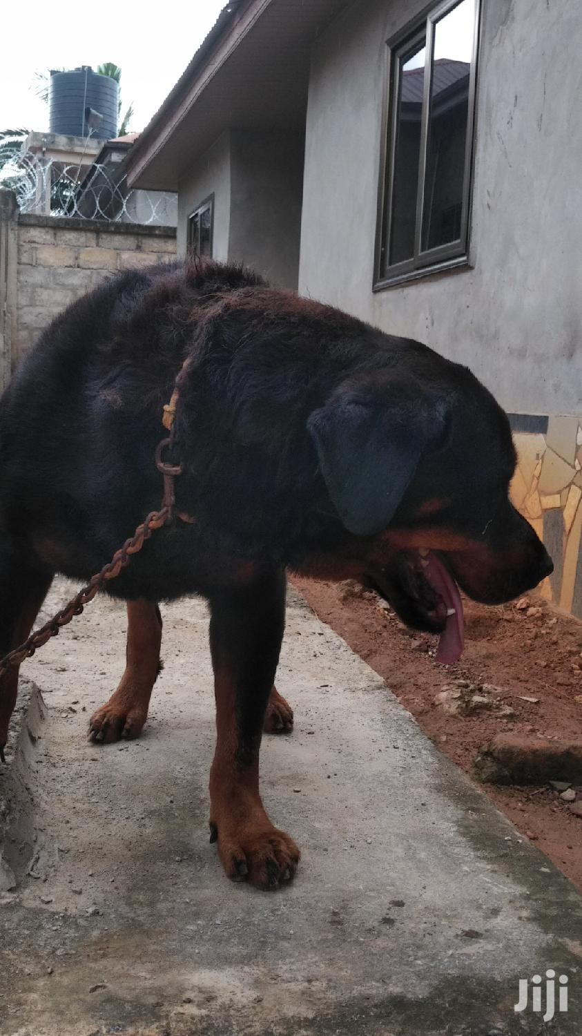 Adult Male Purebred Rottweiler