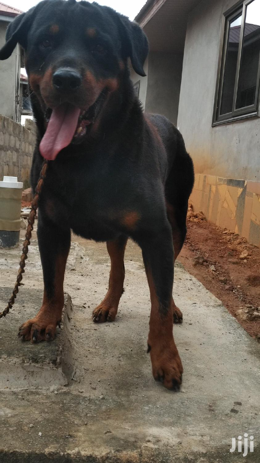 Adult Male Purebred Rottweiler | Dogs & Puppies for sale in Wassa West, Western Region, Ghana
