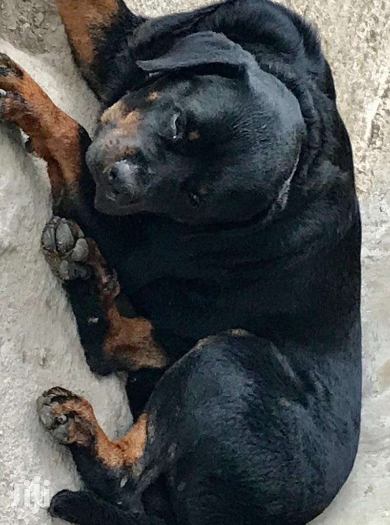 Adult Male Purebred Rottweiler | Dogs & Puppies for sale in Lartebiokorshie, Greater Accra, Ghana