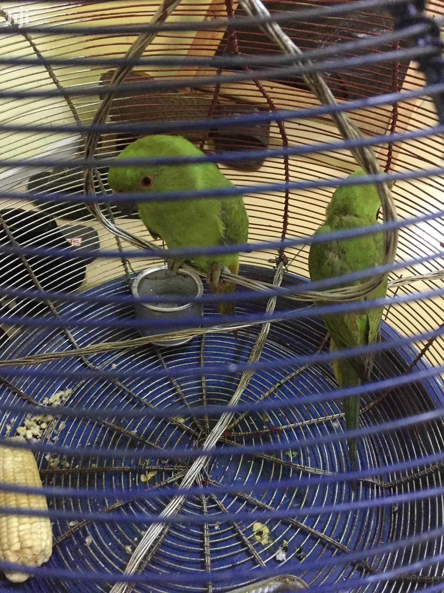 African Ringneck Parrot