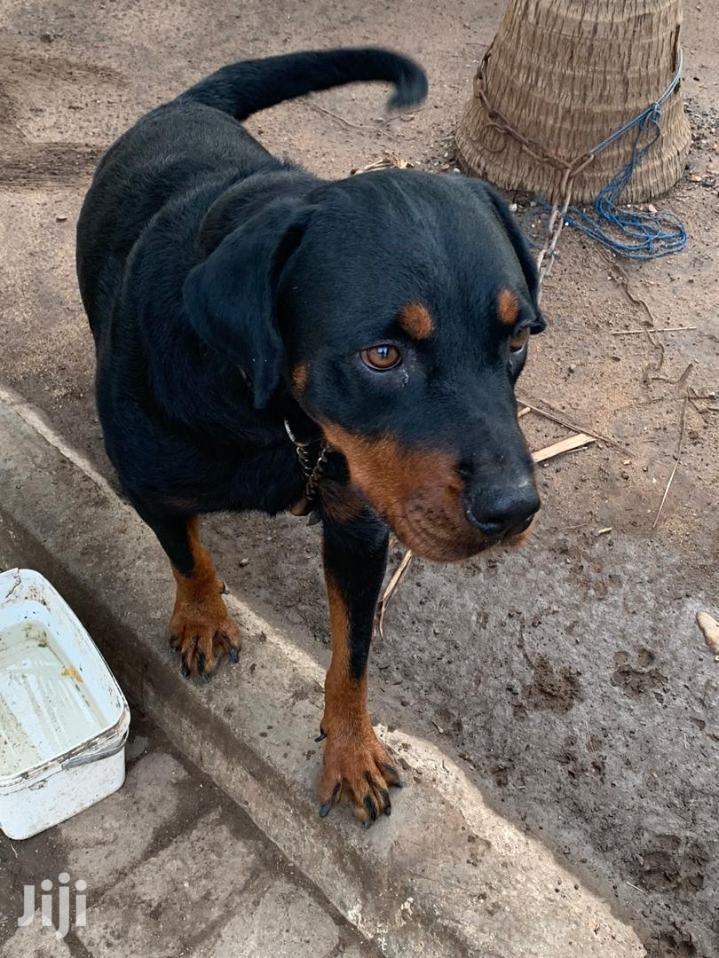 Baby Female Purebred Rottweiler   Dogs & Puppies for sale in East Legon, Greater Accra, Ghana