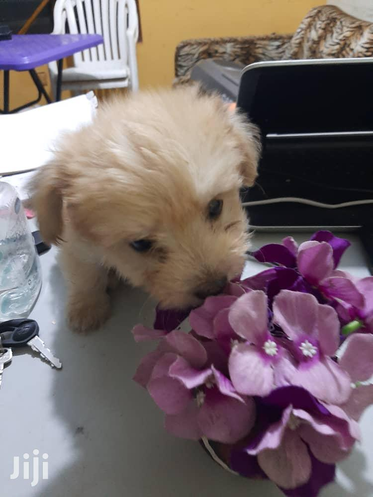 Baby Male Purebred Poodle | Dogs & Puppies for sale in Nungua East, Greater Accra, Ghana