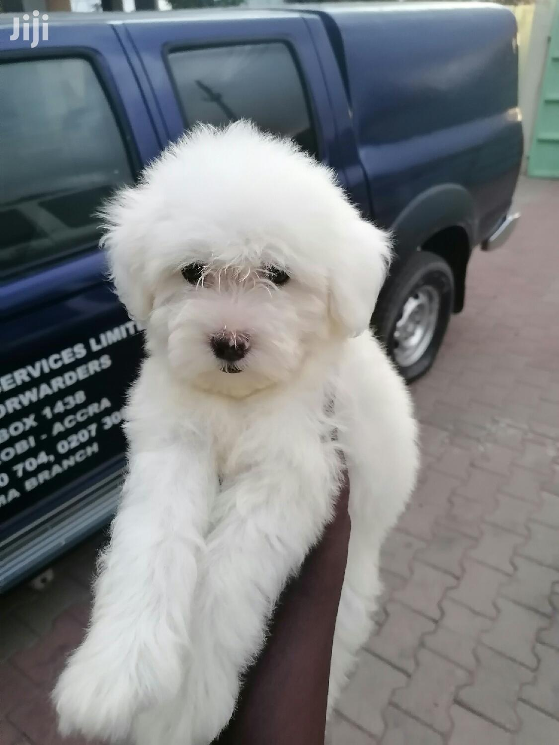 Baby Male Mixed Breed Poodle