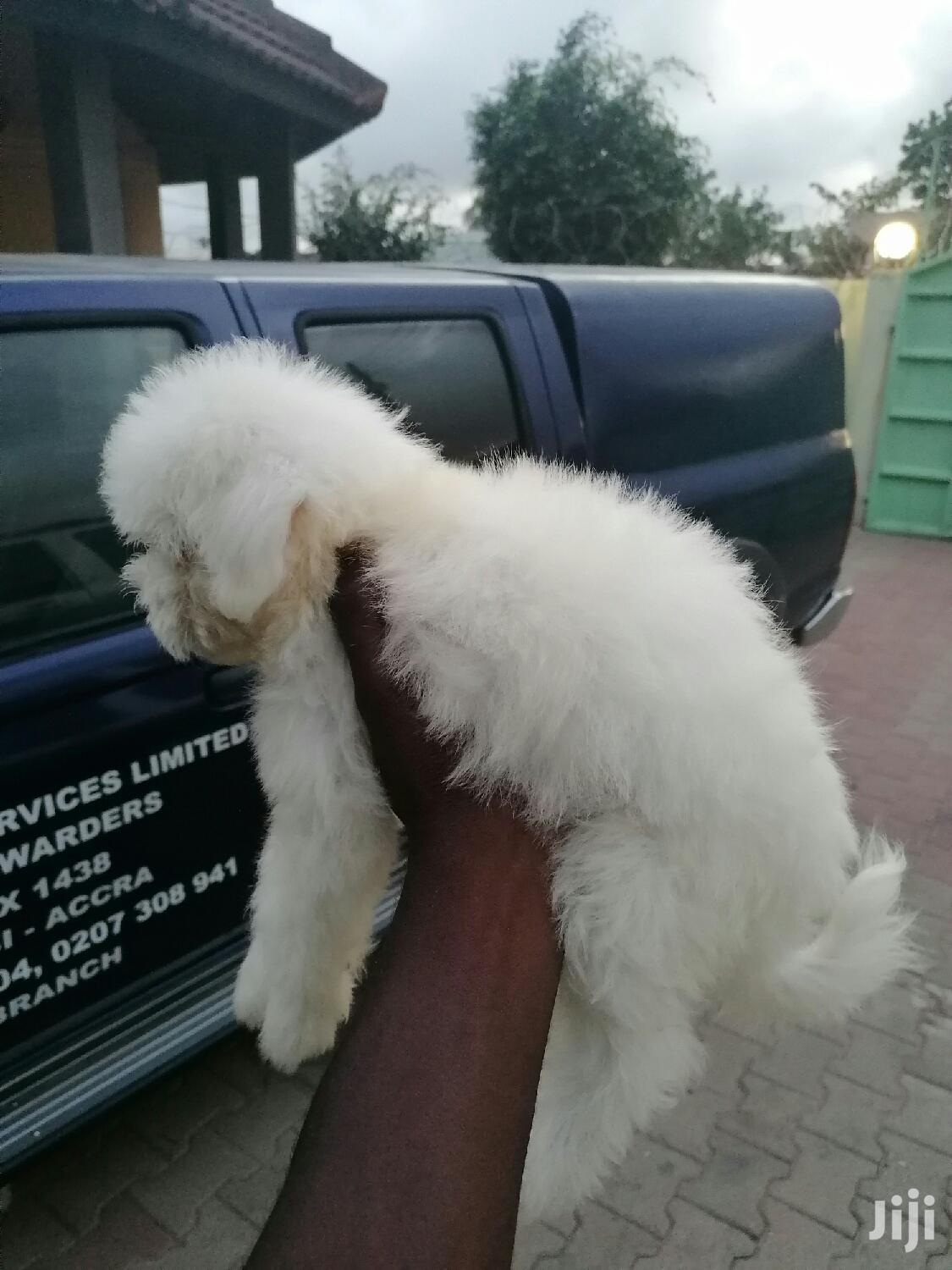 Baby Male Mixed Breed Poodle | Dogs & Puppies for sale in Cantonments, Greater Accra, Ghana