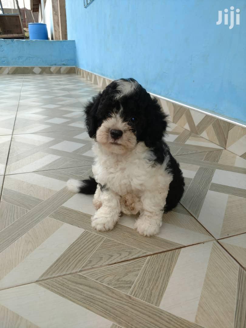 Archive: Baby Male Purebred Maltese