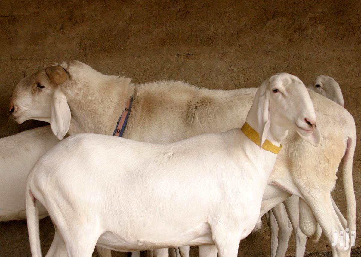 Bali Bali Sheep Breed