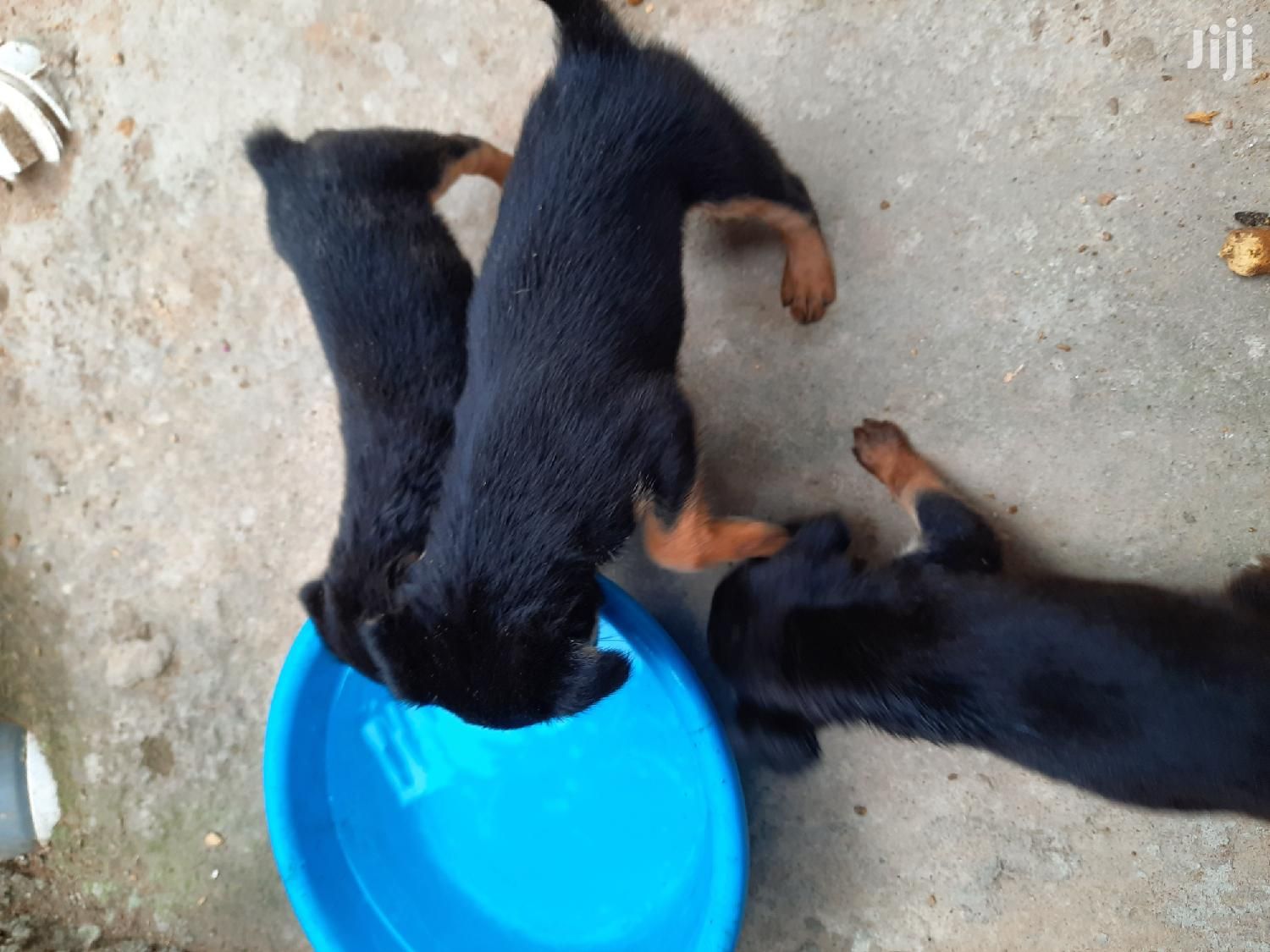 Baby Male Mixed Breed German Shepherd | Dogs & Puppies for sale in Ga South Municipal, Greater Accra, Ghana