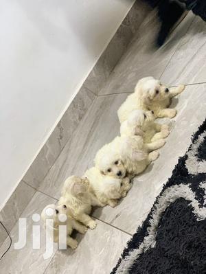 1-3 month Female Purebred Maltese   Dogs & Puppies for sale in Nungua, Teshie-Nungua Estates