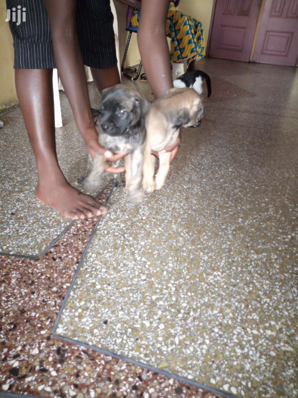 Baby Female Purebred Boerboel   Dogs & Puppies for sale in Kumasi Metropolitan, Ashanti, Ghana