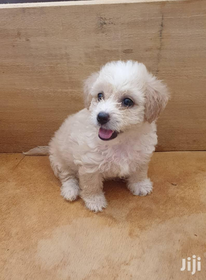 1-3 Month Male Mixed Breed Poodle