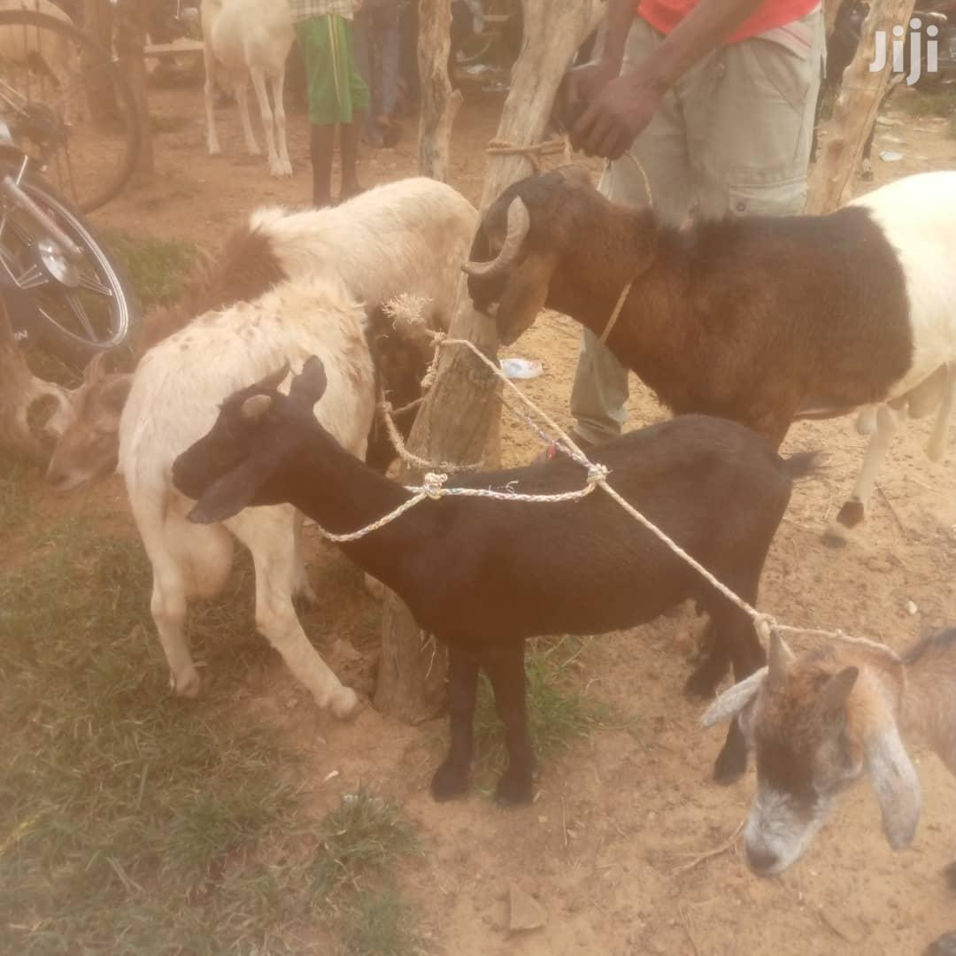 Ahihub Livestock (Sheep And Goats) | Livestock & Poultry for sale in Accra Metropolitan, Greater Accra, Ghana