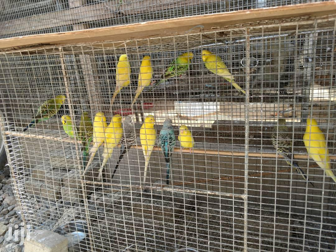 Budgies (Pairs) | Birds for sale in Tema Metropolitan, Greater Accra, Ghana