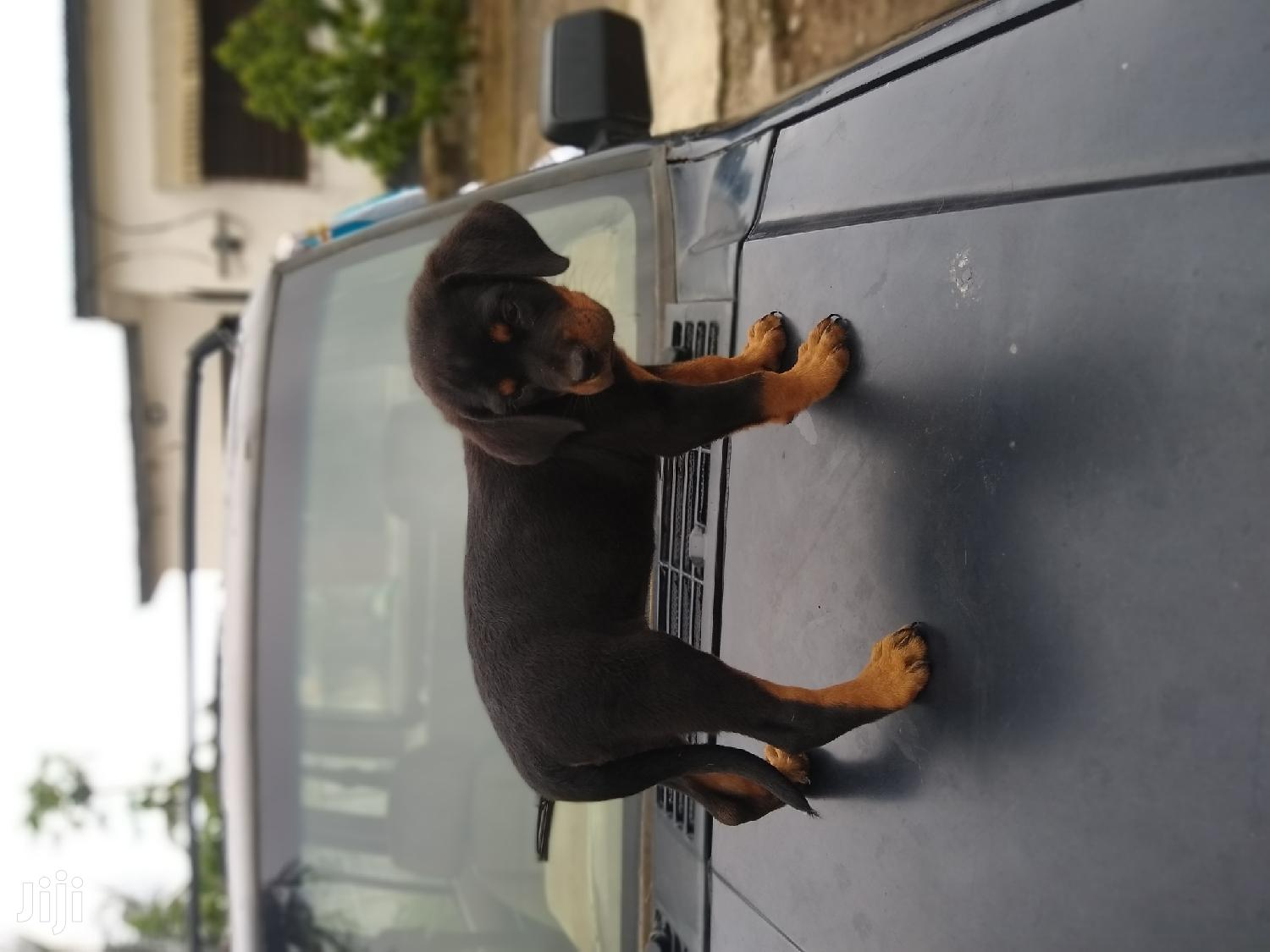 Baby Female Purebred Rottweiler | Dogs & Puppies for sale in Achimota, Greater Accra, Ghana