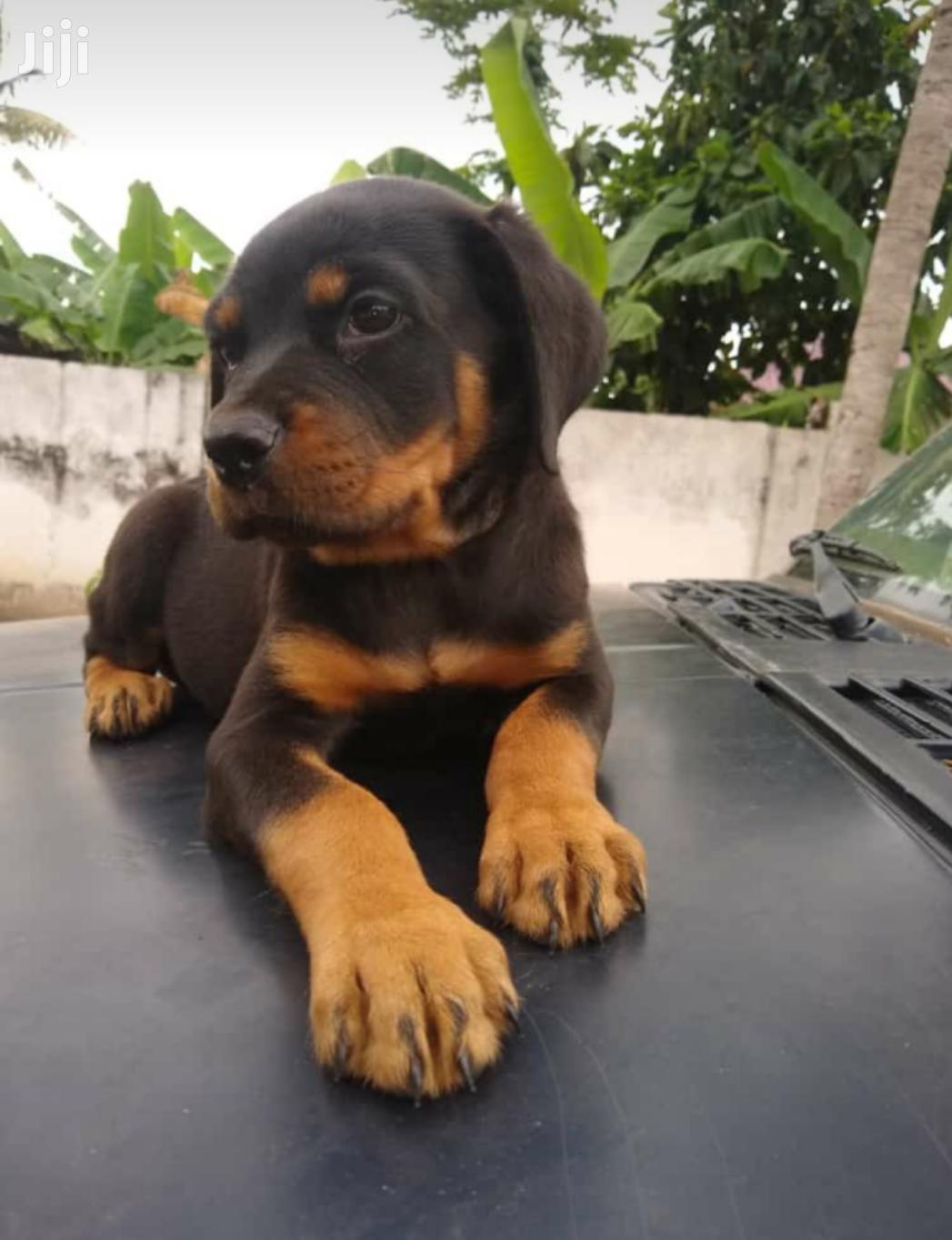 1-3 Month Male Purebred Rottweiler | Dogs & Puppies for sale in Ga West Municipal, Greater Accra, Ghana