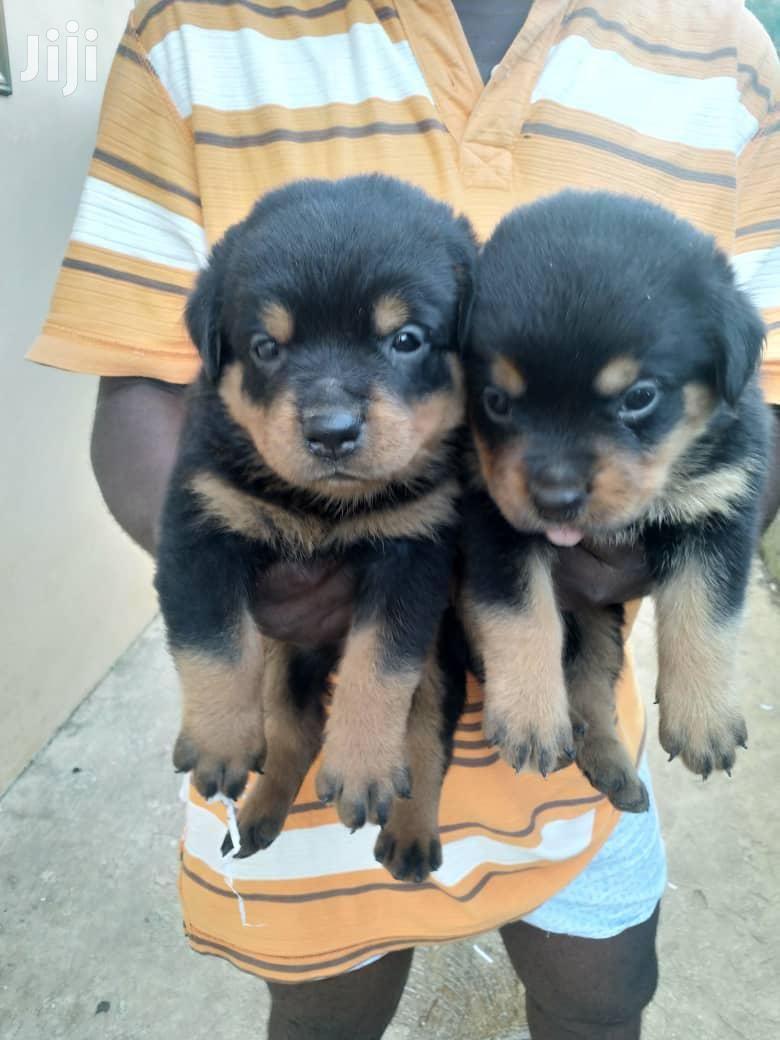 Archive: Baby Male Purebred Rottweiler