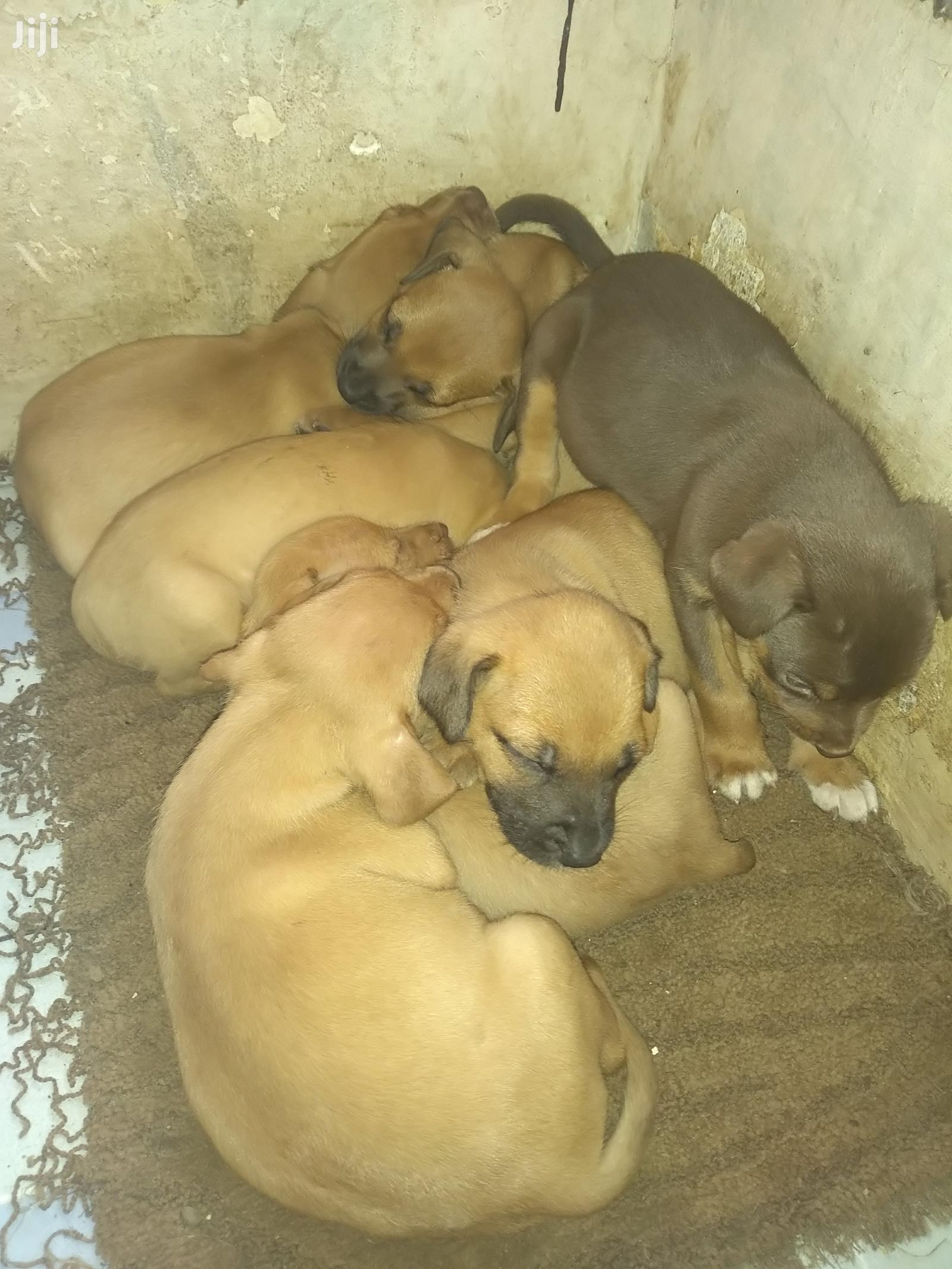 Archive: Baby Male Mixed Breed Boerboel