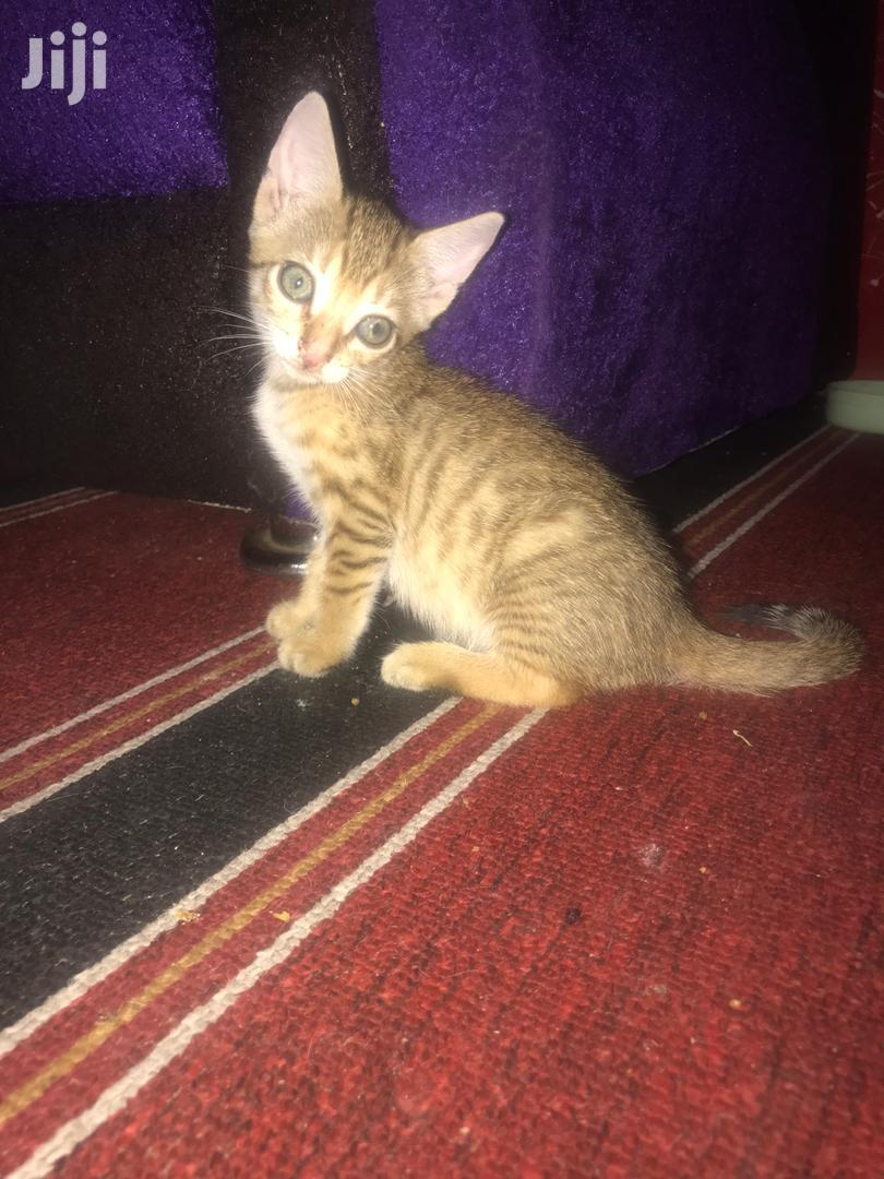 0-1 month Female Purebred Cat | Cats & Kittens for sale in Accra new Town, Greater Accra, Ghana