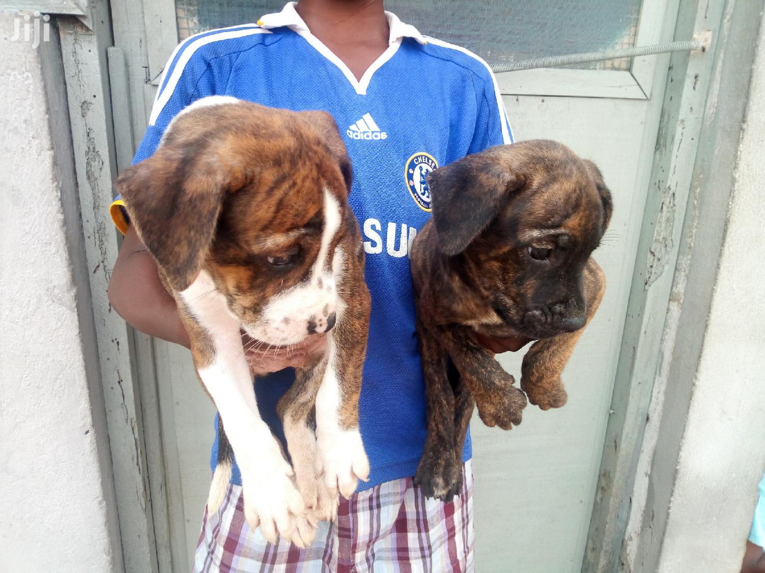 1-3 Month Male Mixed Breed Boerboel | Dogs & Puppies for sale in Tema Metropolitan, Greater Accra, Ghana
