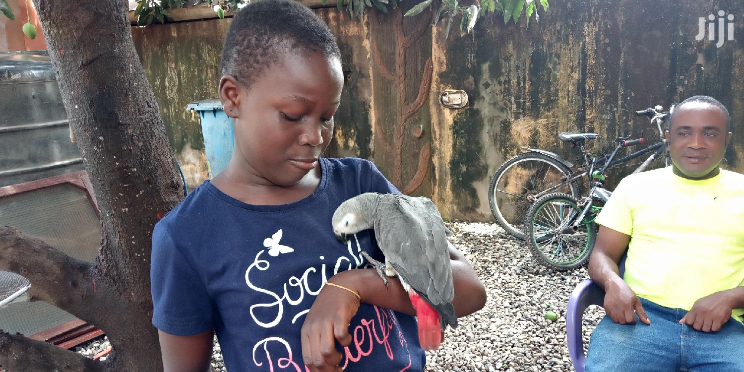 Congo African Grey | Birds for sale in Achimota, Greater Accra, Ghana