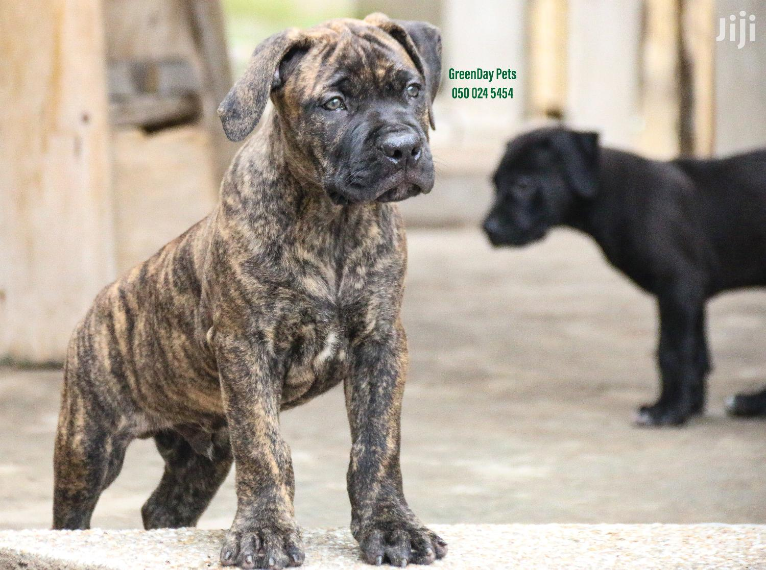 1-3 Month Male Mixed Breed Dog | Dogs & Puppies for sale in Airport Residential Area, Greater Accra, Ghana