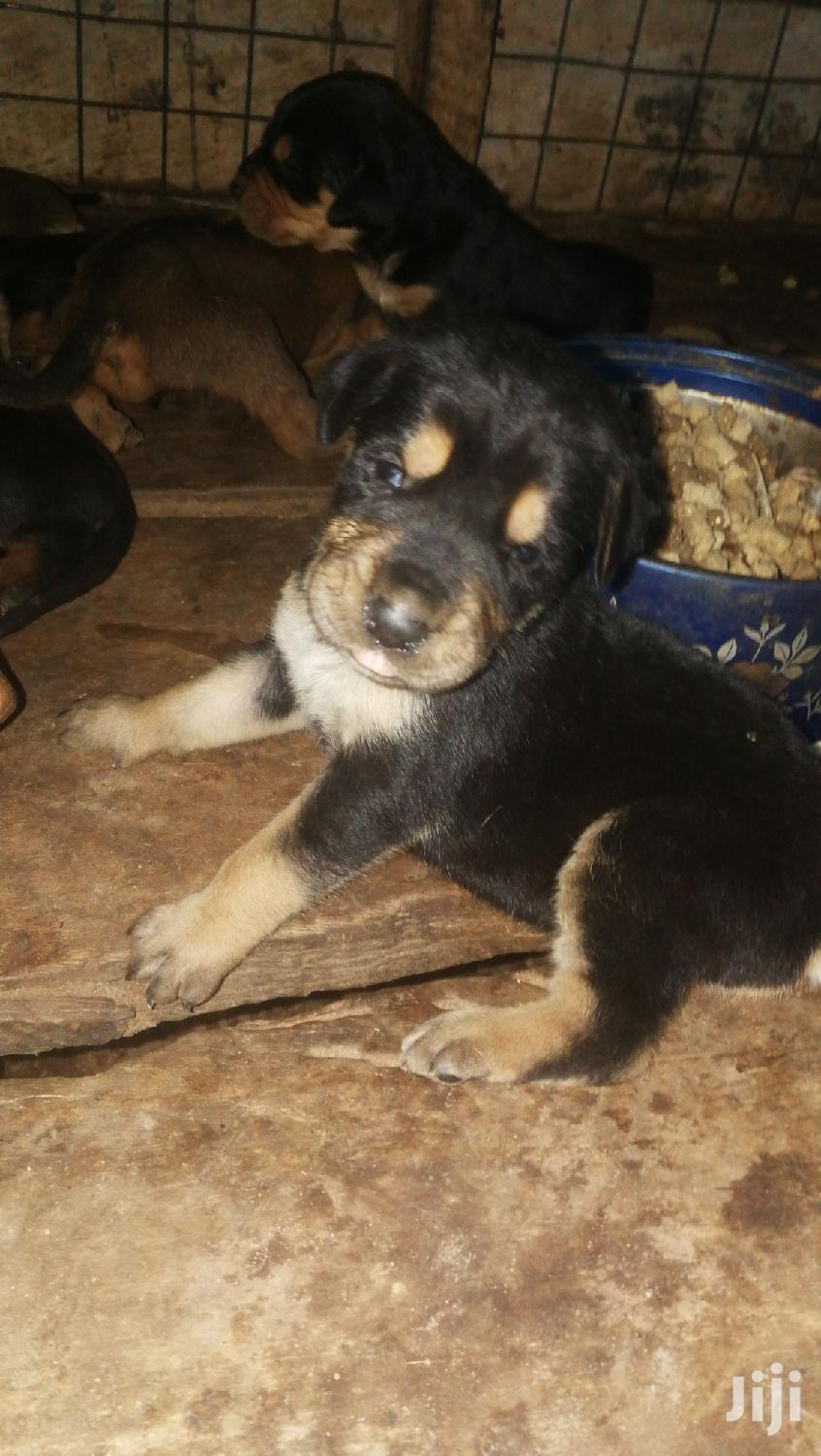 Archive: 1-3 Month Female Mixed Breed Doberman Pinscher