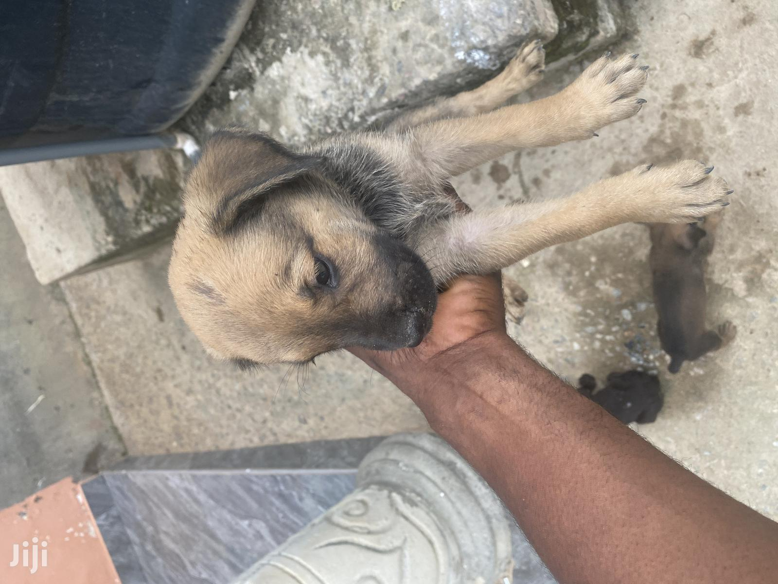 1-3 month Male Mixed Breed Boerboel | Dogs & Puppies for sale in Accra Metropolitan, Greater Accra, Ghana