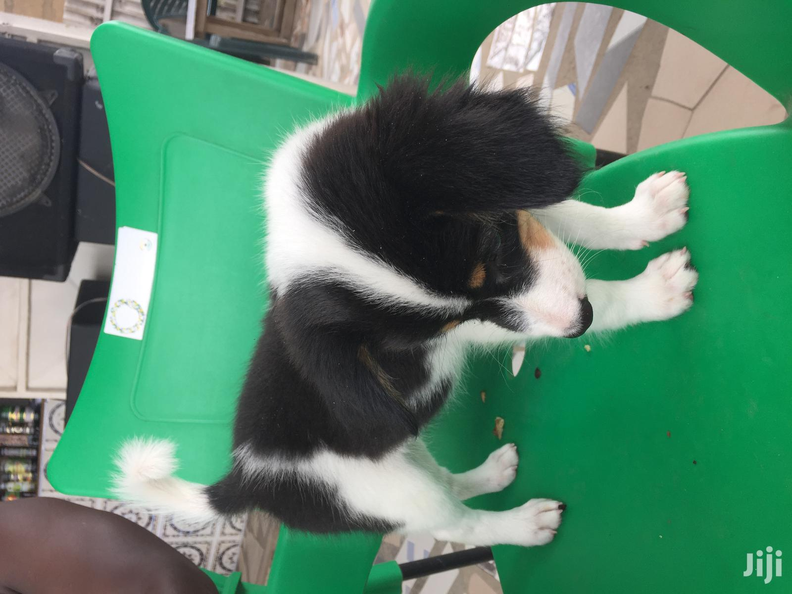 1-3 month Male Mixed Breed German Shepherd | Dogs & Puppies for sale in Darkuman, Greater Accra, Ghana