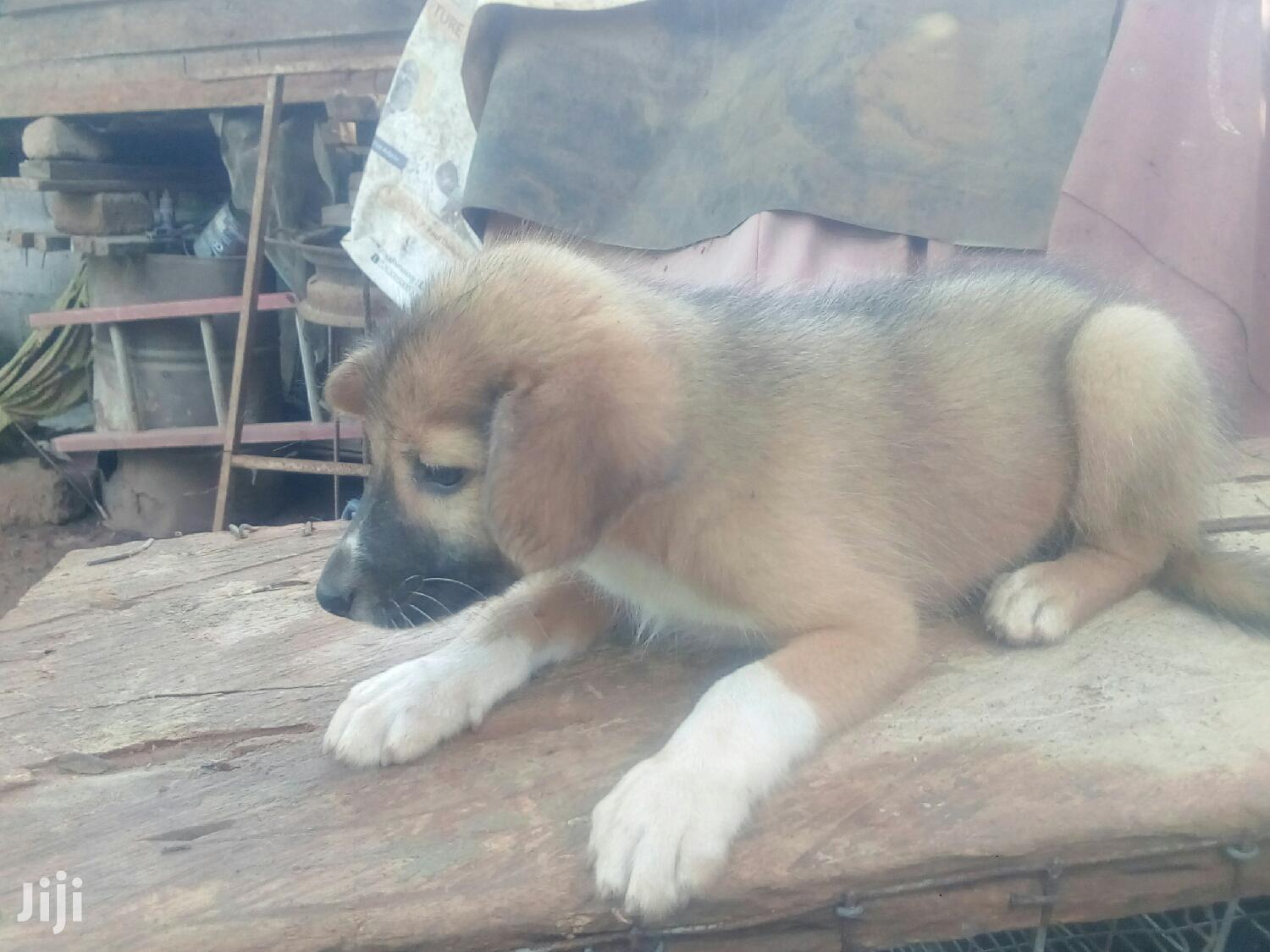 Archive: 1-3 month Male Mixed Breed German Shepherd