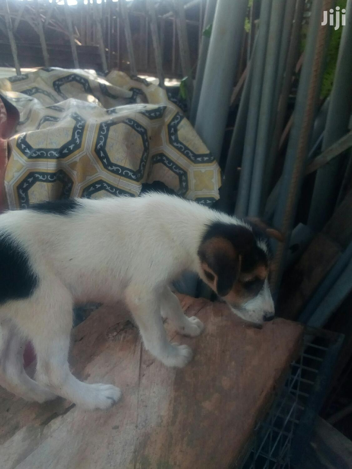 1-3 month Male Mixed Breed Mongrel (No Breed)