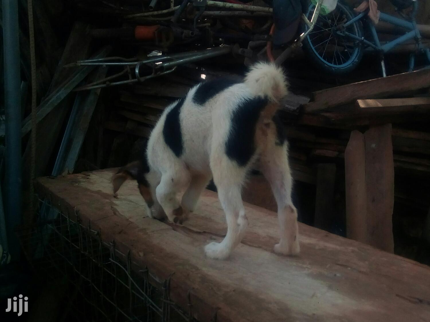 1-3 month Male Mixed Breed Mongrel (No Breed)   Dogs & Puppies for sale in Accra Metropolitan, Greater Accra, Ghana