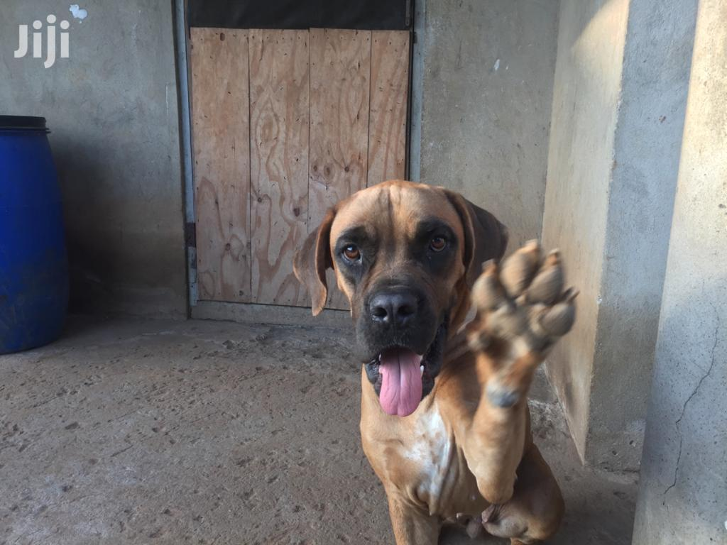 Archive: 1+ Year Female Purebred Boerboel