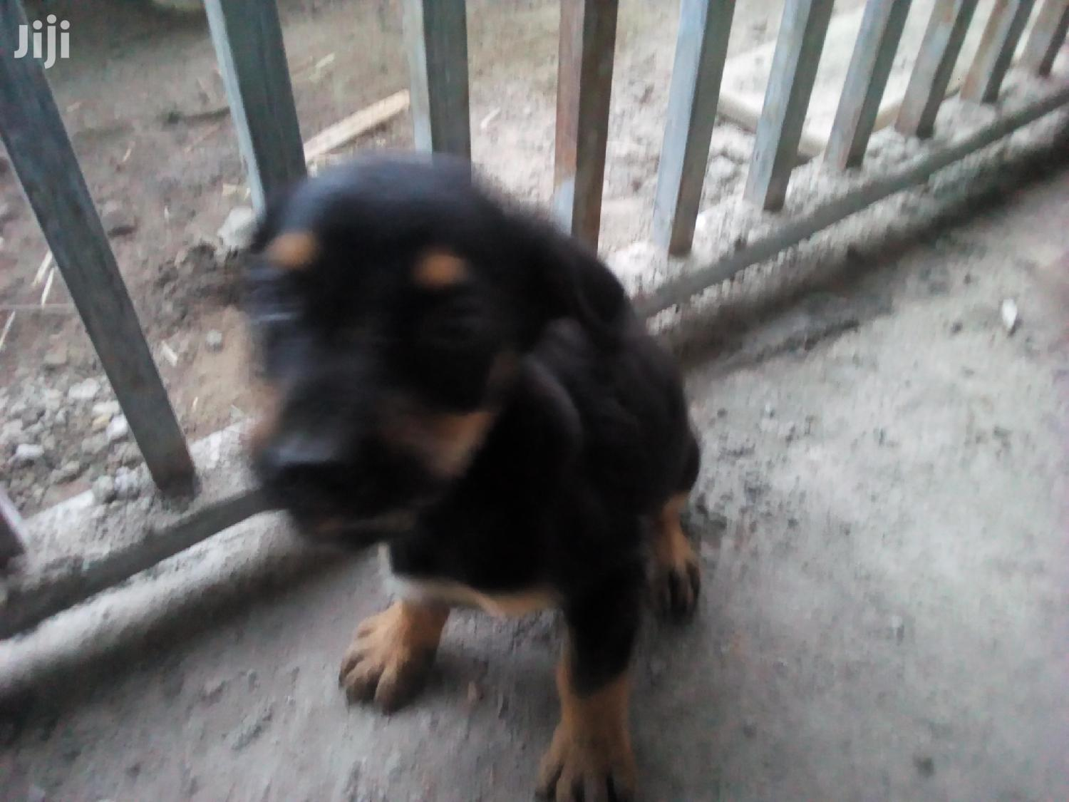 1-3 Month Male Mixed Breed Rottweiler | Dogs & Puppies for sale in Ga East Municipal, Greater Accra, Ghana