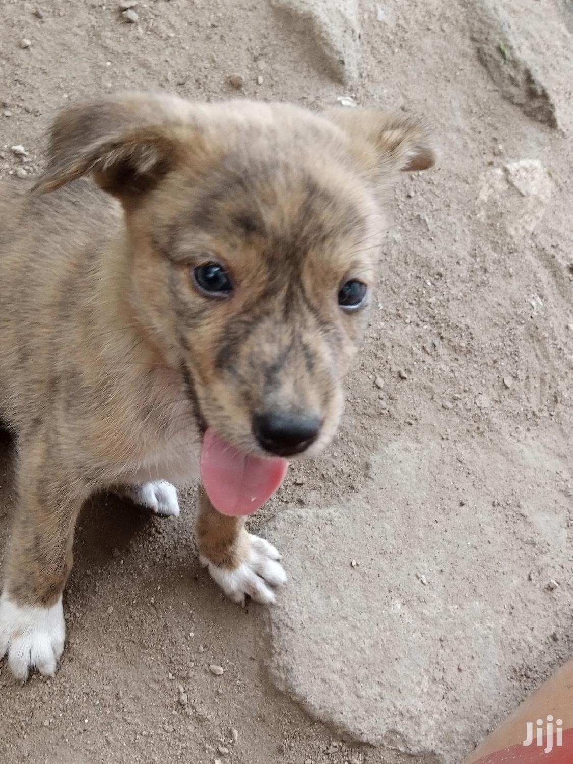Archive: 1-3 month Male Mixed Breed Mongrel (No Breed)