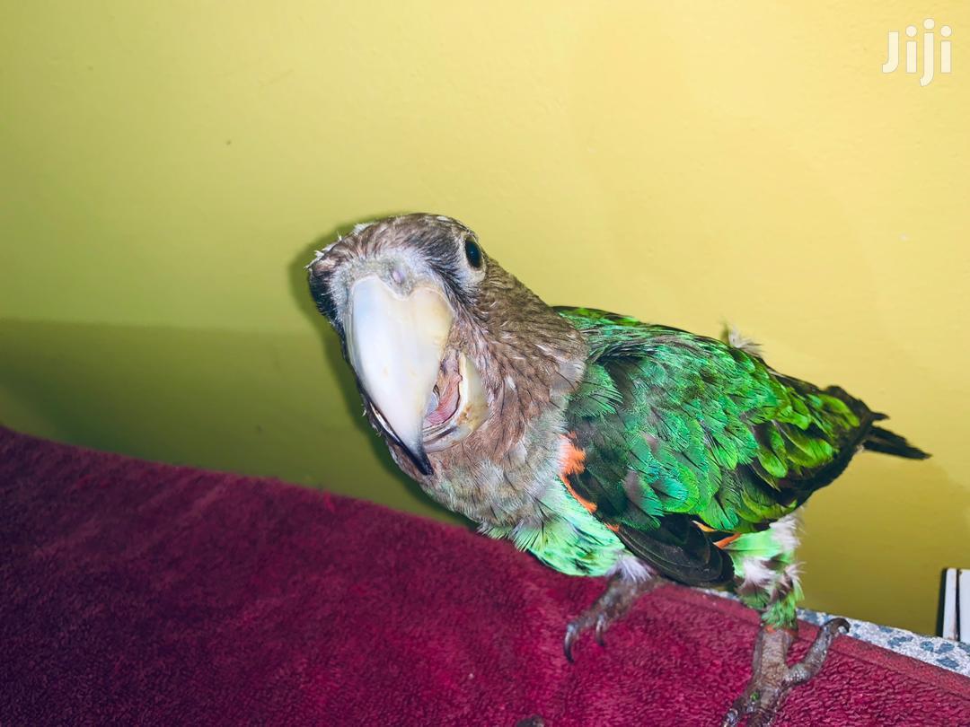 Tamed Cape Parrot | Birds for sale in Dansoman, Greater Accra, Ghana