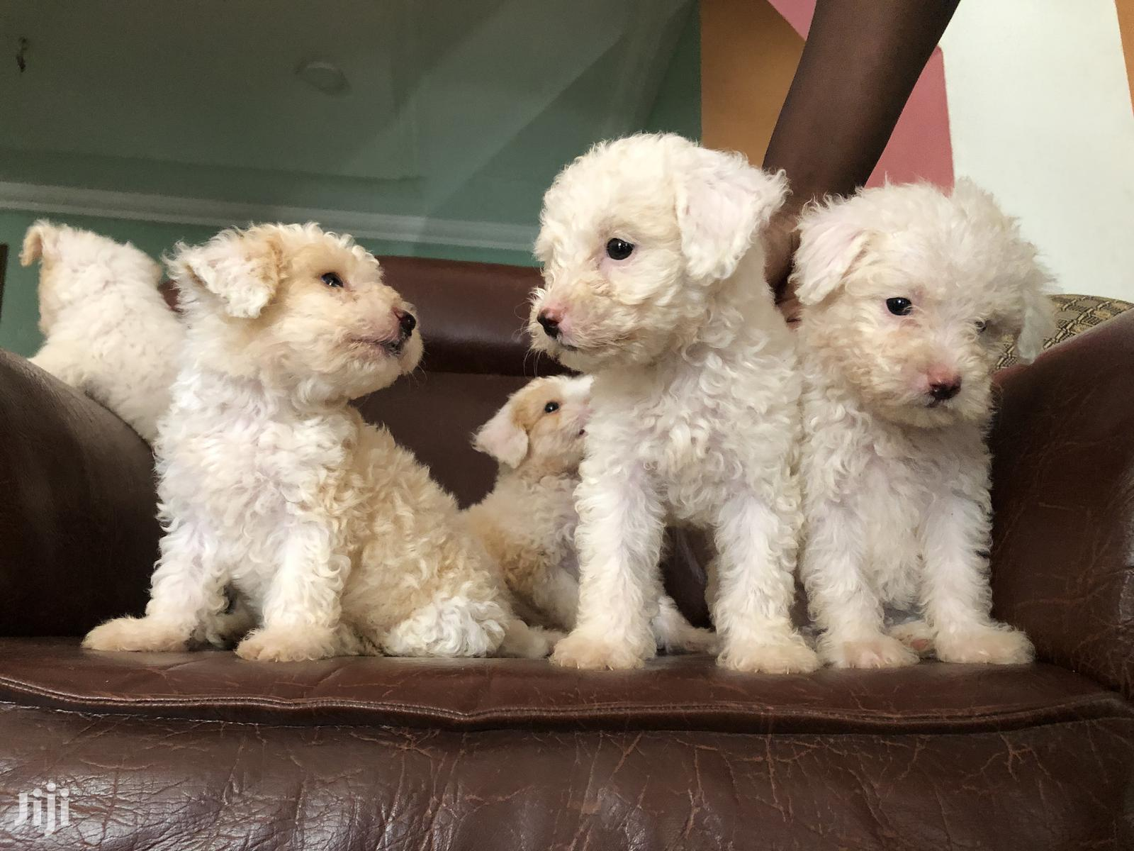 Archive: 1-3 Month Male Mixed Breed Maltipoo