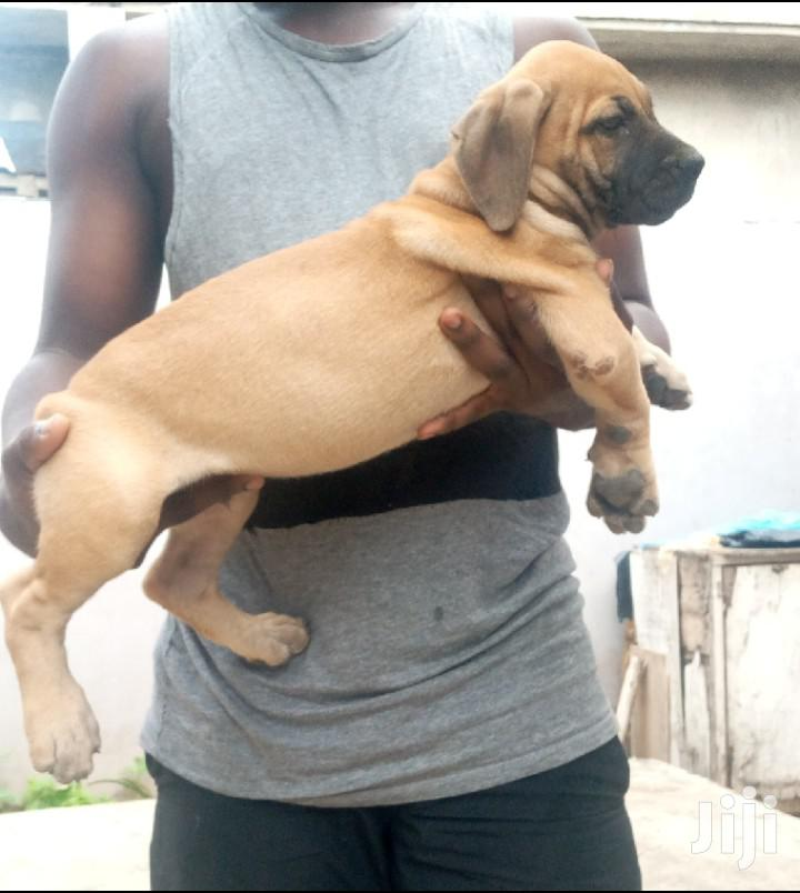 1-3 month Male Purebred Boerboel | Dogs & Puppies for sale in Teshie-Nungua Estates, Greater Accra, Ghana