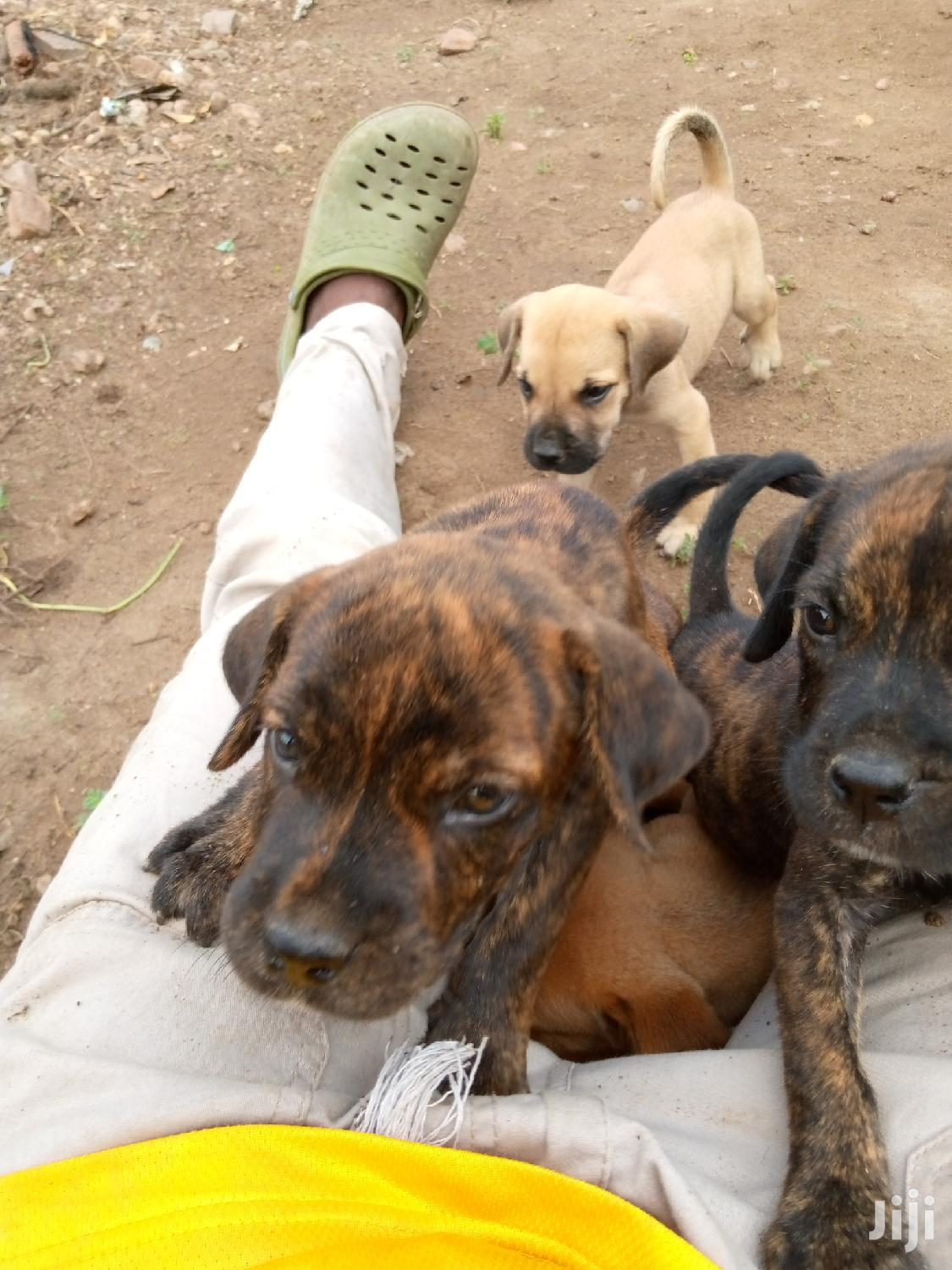 1-3 month Male Purebred Boerboel | Dogs & Puppies for sale in East Legon, Greater Accra, Ghana