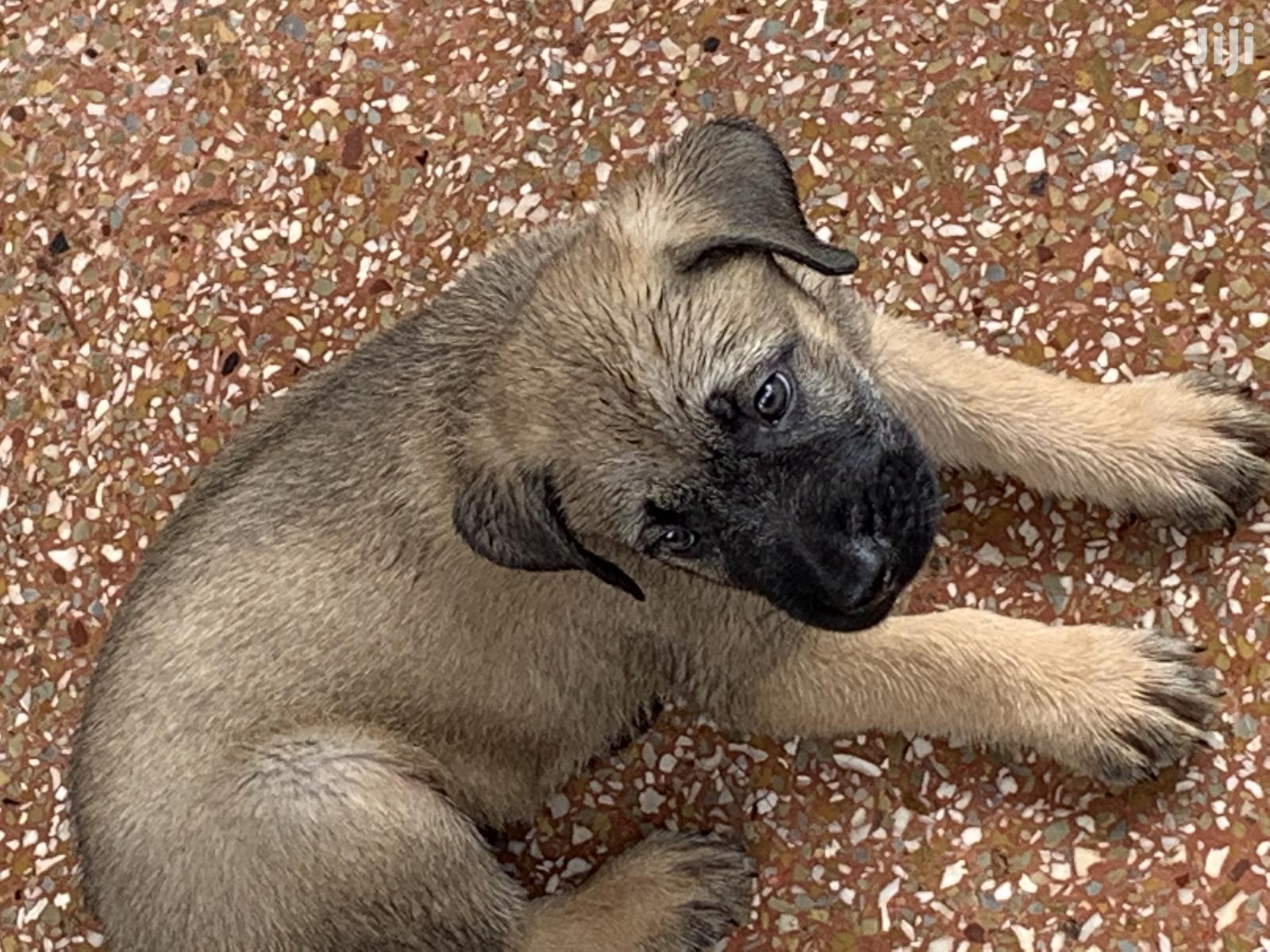 Archive: 1-3 month Male Mixed Breed Caucasian Shepherd