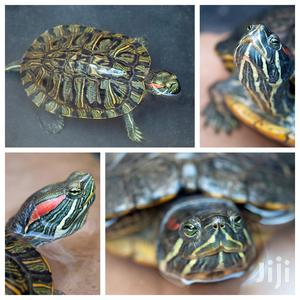 Red Eared Slider Turtle For Your Aquarium   Reptiles for sale in Greater Accra, Accra Metropolitan