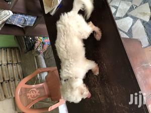 1+ Year Male Purebred Maltese   Dogs & Puppies for sale in Labadi, La Wireless
