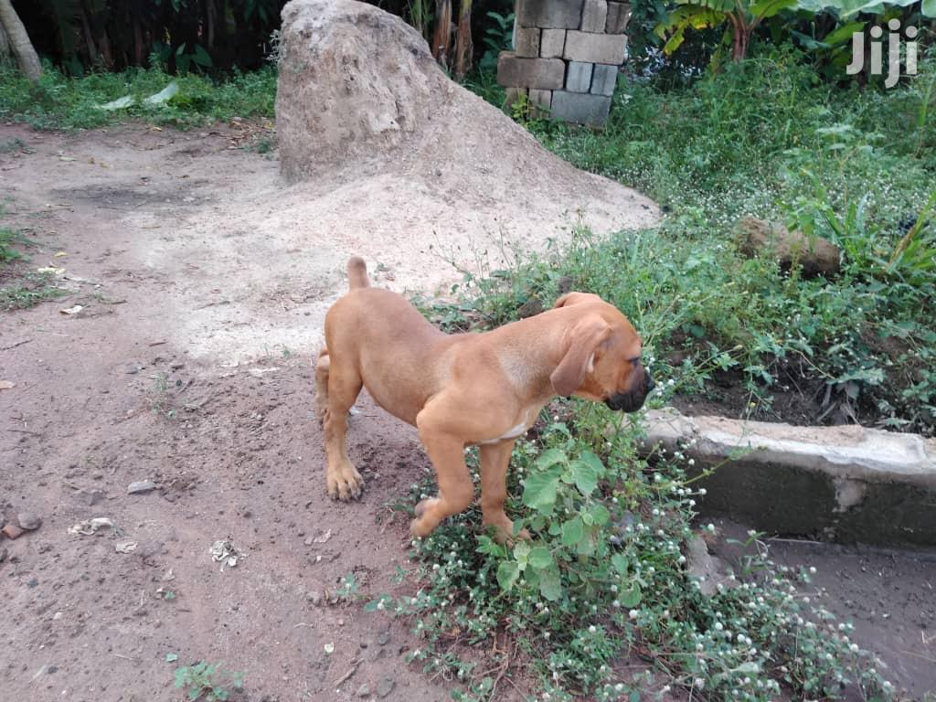 1-3 month Male Purebred Boerboel | Dogs & Puppies for sale in Accra Metropolitan, Greater Accra, Ghana
