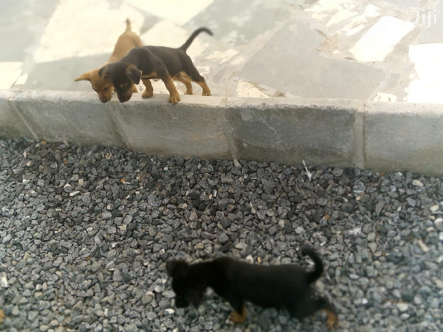 1-3 month Male Mixed Breed Cocker Spaniel   Dogs & Puppies for sale in Burma Camp, Greater Accra, Ghana