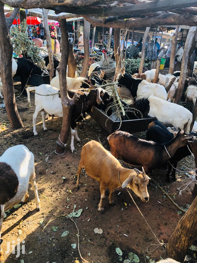 Archive: Healthy Goats