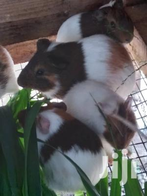 Guinea Pigs   Livestock & Poultry for sale in Greater Accra, Achimota
