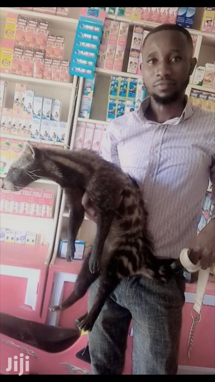 Tamed Civet Cat